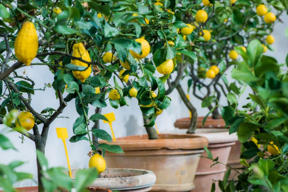 Mon citronnier perd ses feuilles : que faire pour y remédier ?