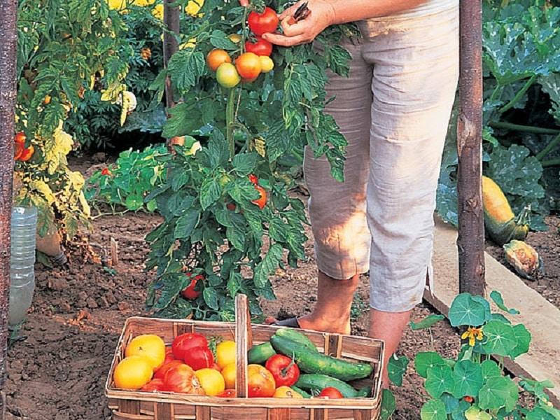 Quand planter les tomates avec la lune ?