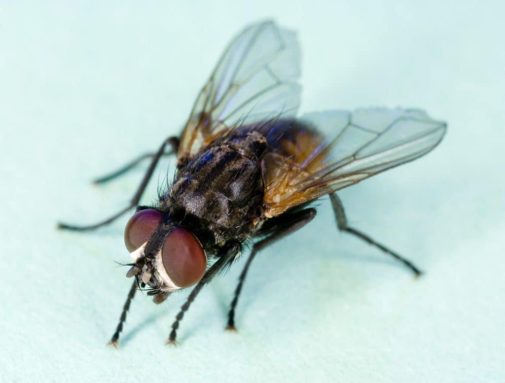 Où les mouches pondent-elles leurs oeufs?